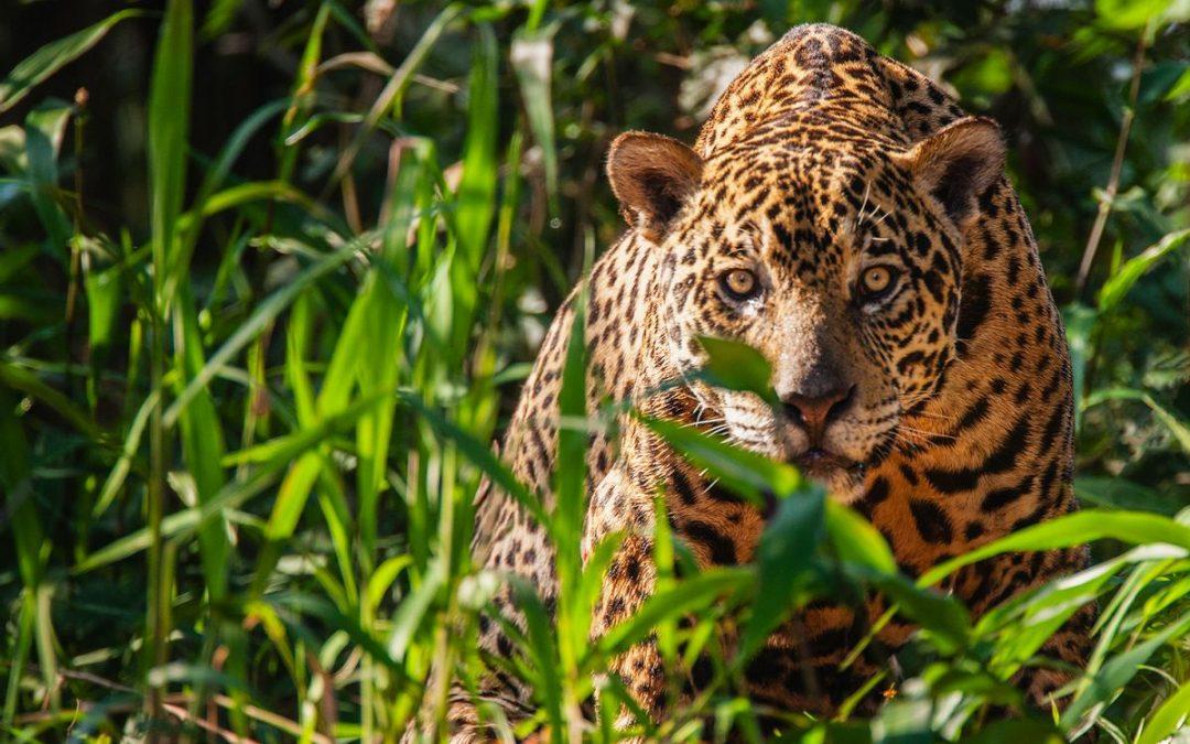 """Goldcrest Post Helps Filmmaker Elizabeth Unger Uncover the Evil of Jaguar Poaching in """"Tigre Gente"""""""